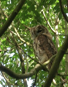 Heard but not seen - when we released this Tawny back to the wild, by flying straight to a perch in the trees he demonstrated how successful the natural camouflage of his plumage is in making him almost invisible in his natural habitat!