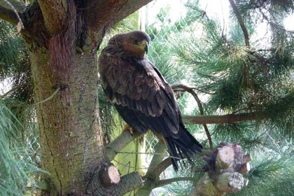 The pair of Tawny Eagles have settled in quickly amongstthe evergreens in their spacious aviary