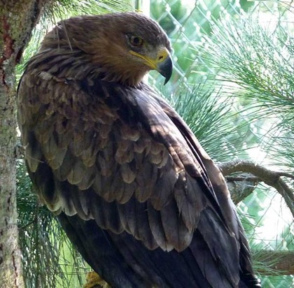The handsome male sports the hooded eyes common to most eagles