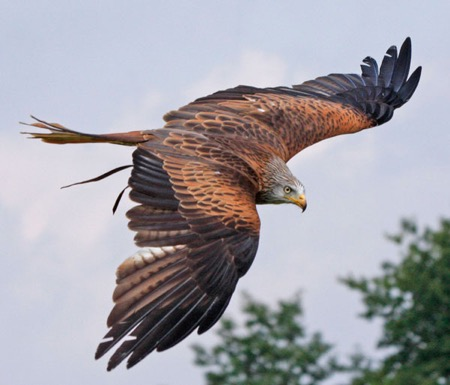 A beautiful red Kite shows off its stunning plumage during a display at S.O.S.