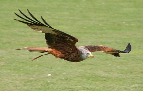 red-kite-at-sos.jpg
