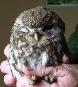 Battered & bruised - but not defeated. This Little Owl should live to tell the tale