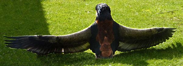Pungu the Bateleur Eagle basks in the Spring sunshine