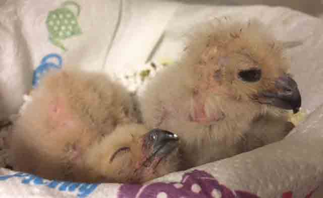 A pair of African Spotted Eagle Owl chicks are hand fed and then enjoy a dozy nap...