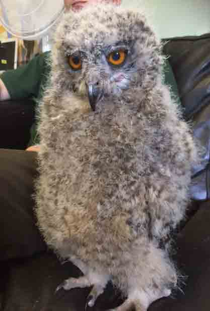 Nakura, our baby Mackinders Owl gets bigger by the day!