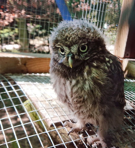 One of the recuperated little owls we have received recently now at hack in a secluded and undisclosed location