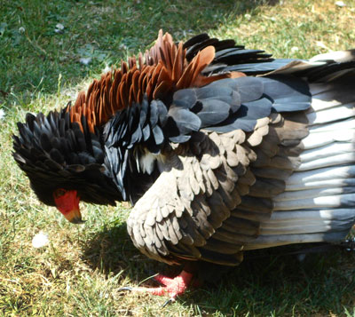 Spreading and puffing feathers helps to reduce body temperature, as Pungu the Bateleur Eagle demonstrates