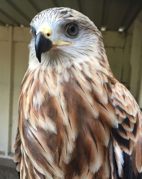 At 8 weeks the form of this adolescent Red Kite is almost complete, ready to join our team as we let our visitors know what what a successful conservation story lies behind this once almost extinct species.