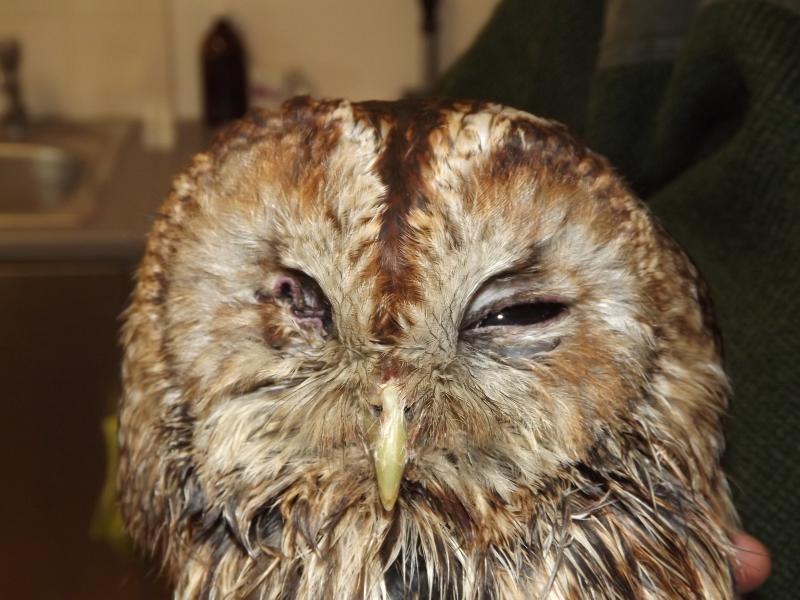 Tawny owl - one eye copy (NXPowerLite Copy).JPG
