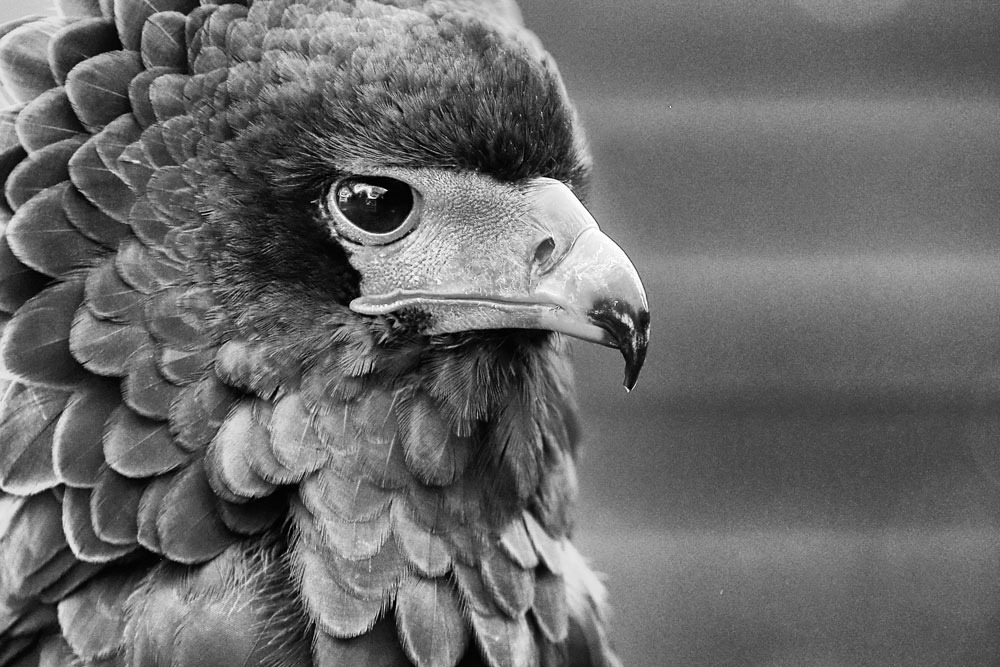 PEOPLE'S CHOICE CATEGORY Winner as voted by S.O.S. supporters on Facebook: FAE LOUDOUN: Pungu, Bateleur Eagle