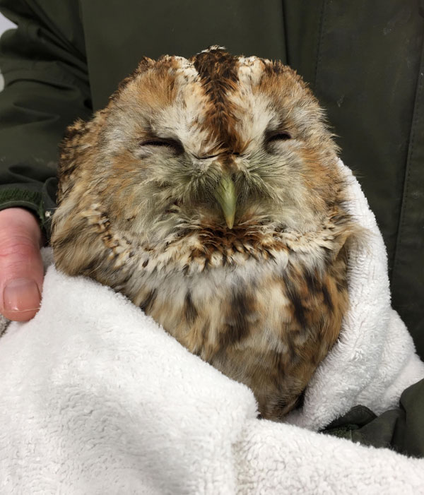 A stunned tawny owl will recover from a traffic collision in the S.O.S. raptor hospital.
