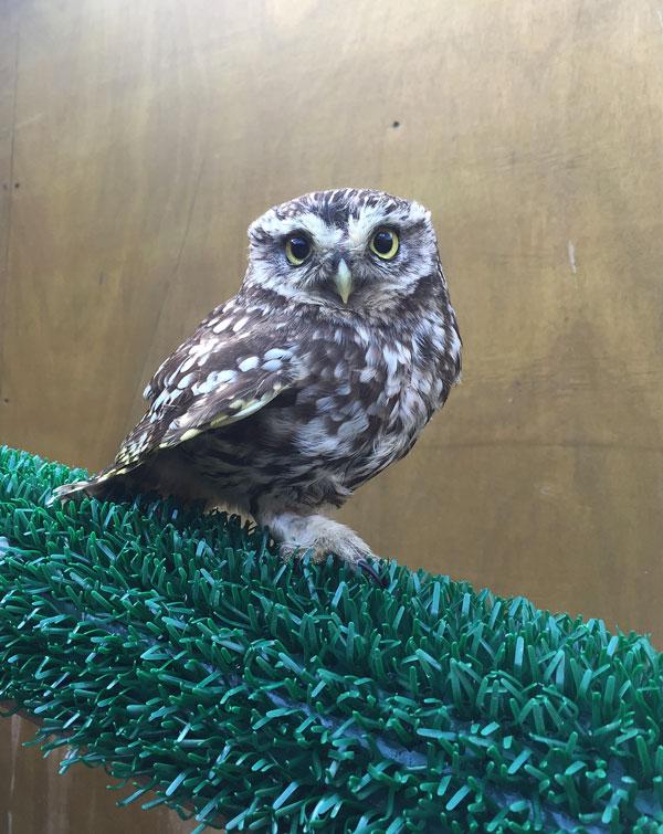 Frozen-Little-Owl-in-re-hab-Mar-2019.jpg