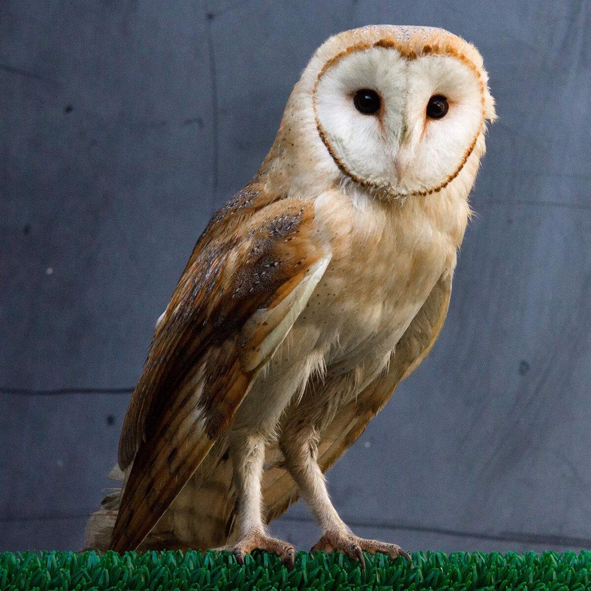 10_10 Owl glue trap FB Insta.jpg