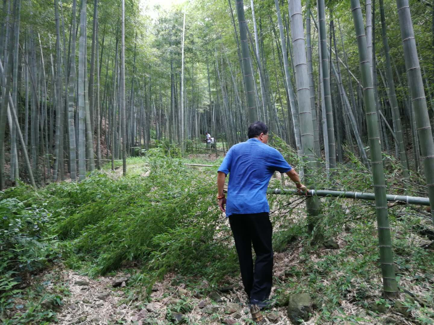- Chen tried to cross the bamboo just fell down a couple of days ago.