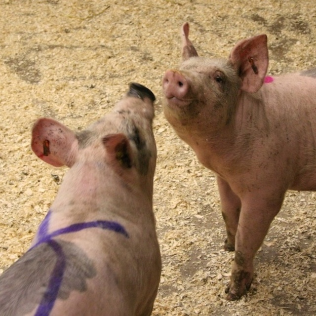 """Photo by M. Farish illustrating pigs """"sizing each other up"""""""