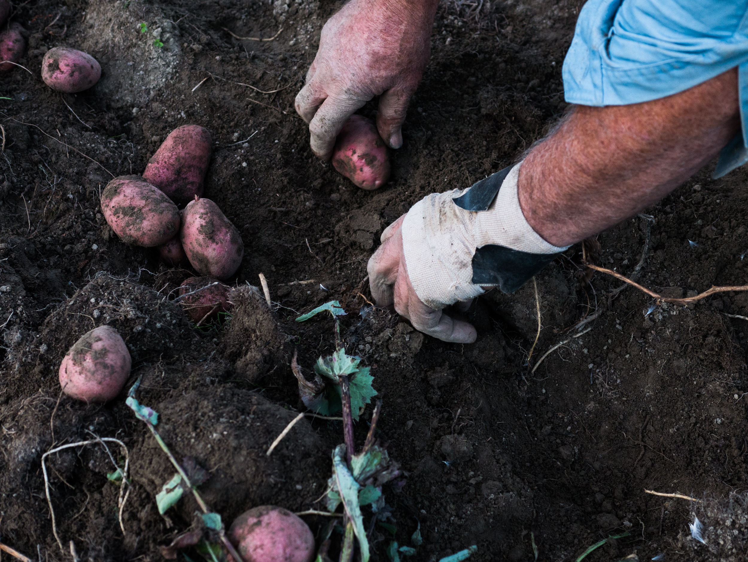 Vince pulls Red Nordland potatoes from the earth of one of his many fields. Aside from spuds he also grows a variety of other vegetables including carrots, corn, cabbage and onions.