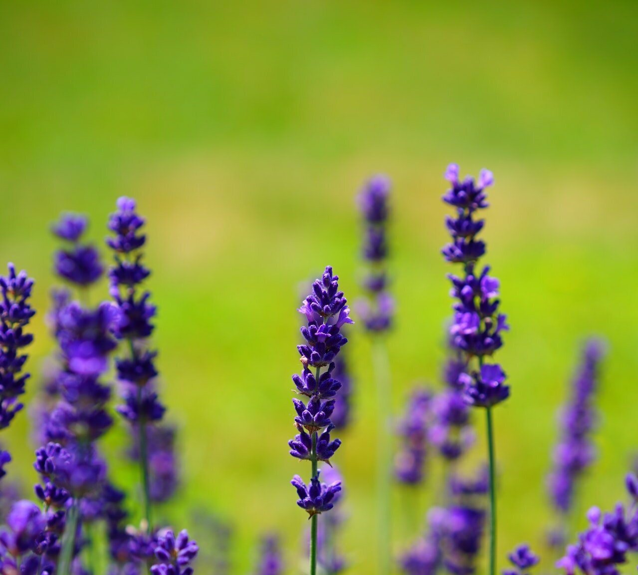 LAVENDER PLANT VARIETIES CURRENTLY OFFERED -