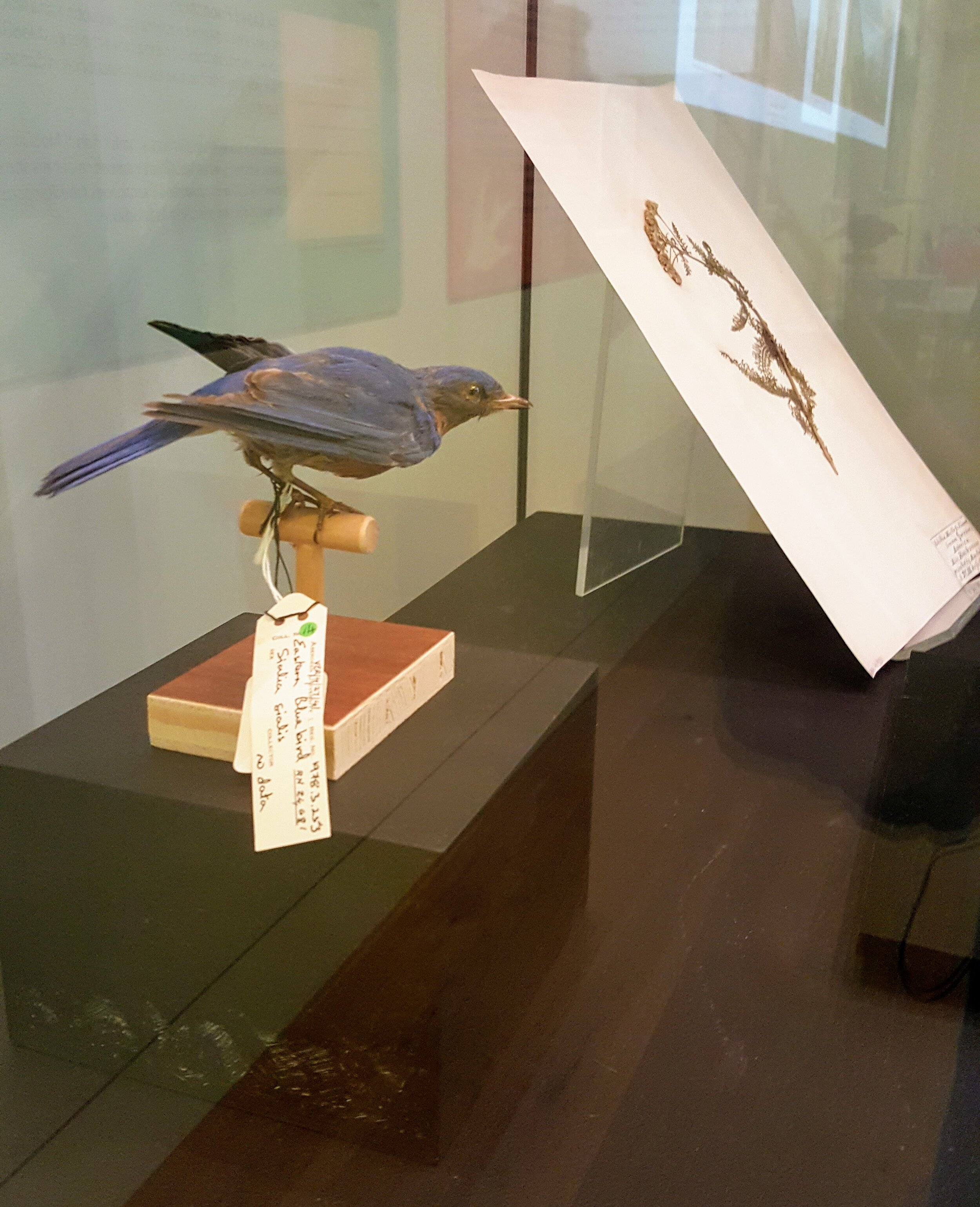 Eastern Bluebird, described in the  Ornithological Biography  as having an 'innocent vivacity'.