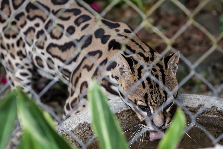 Ocelot drinking water at Springs Resort animal sanctuary.