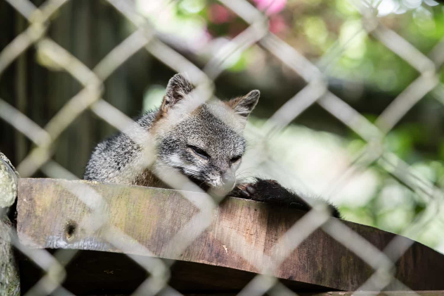 See a fox before or after your wedding at Club Rio in Arenal