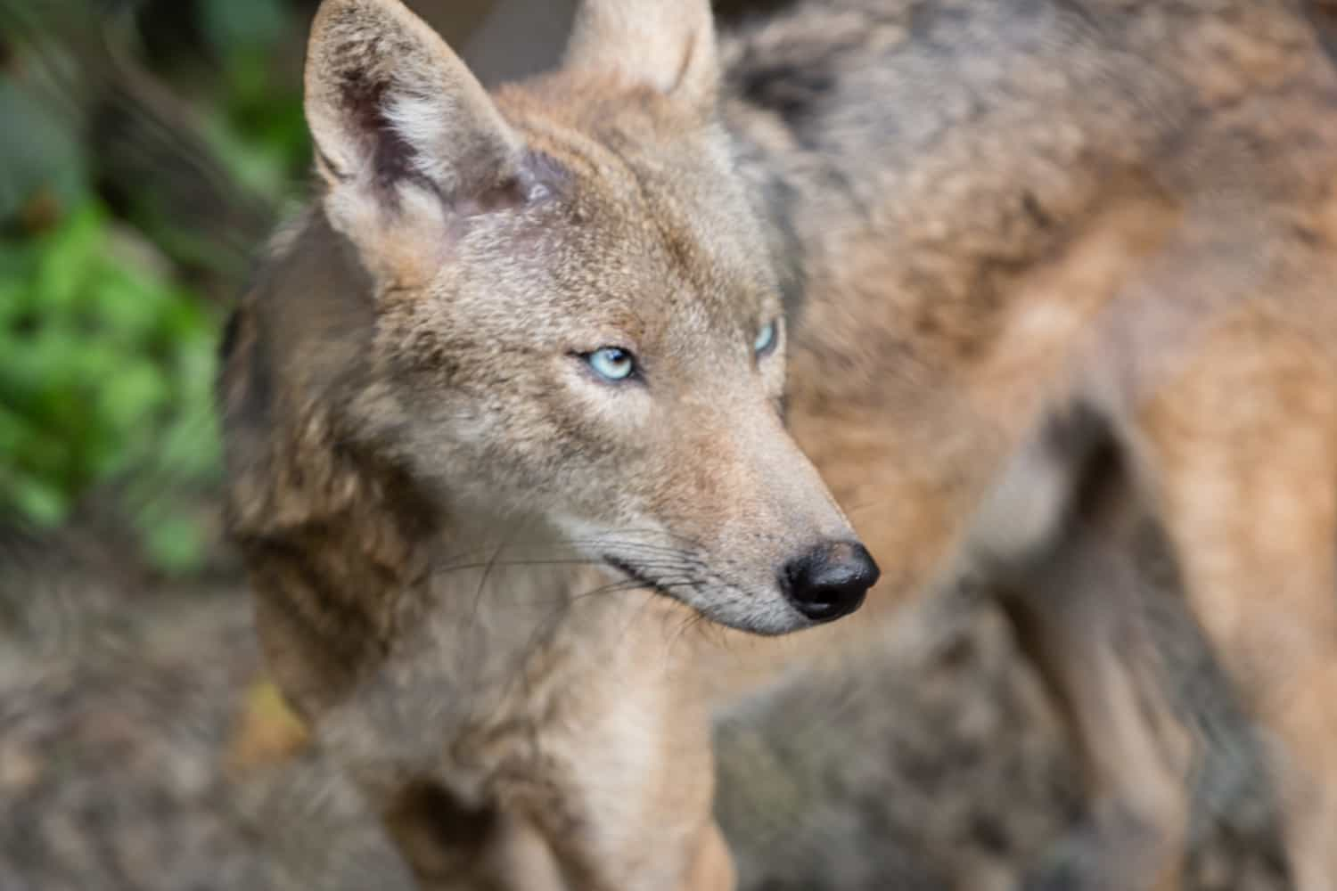 Coyote with blue eyes that is native to Costa Rica.