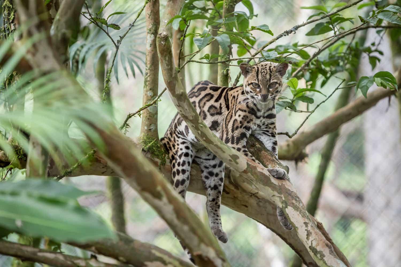 Costa Rica wildcat resting in tree.