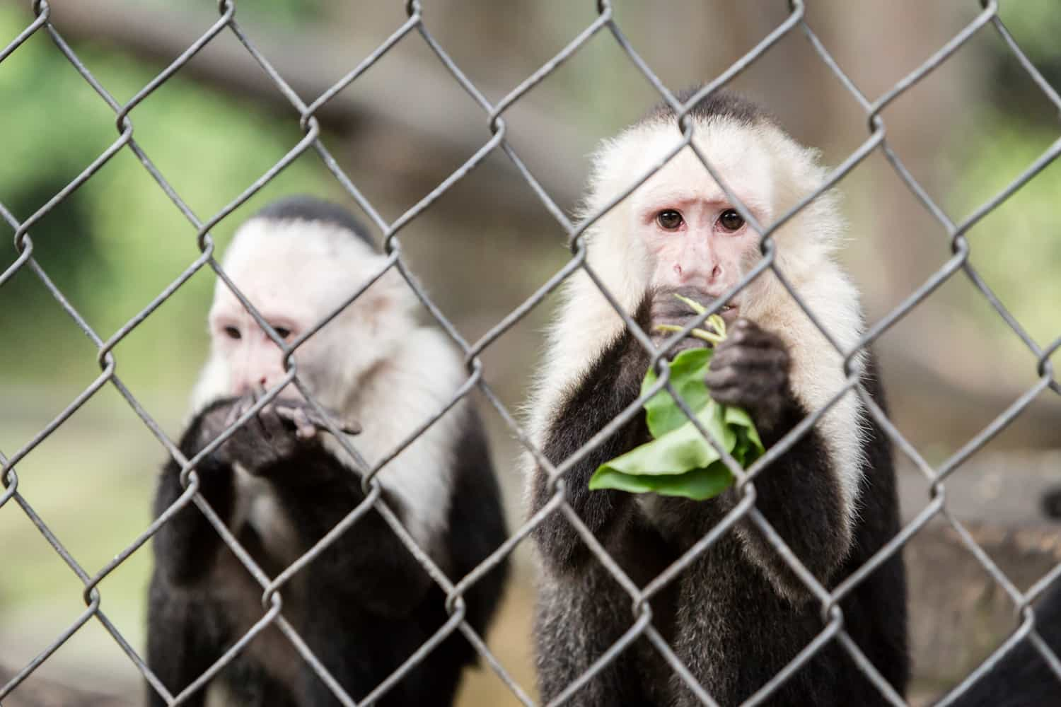 White face monkeys looking at visitors to Club Rio in Arenal.