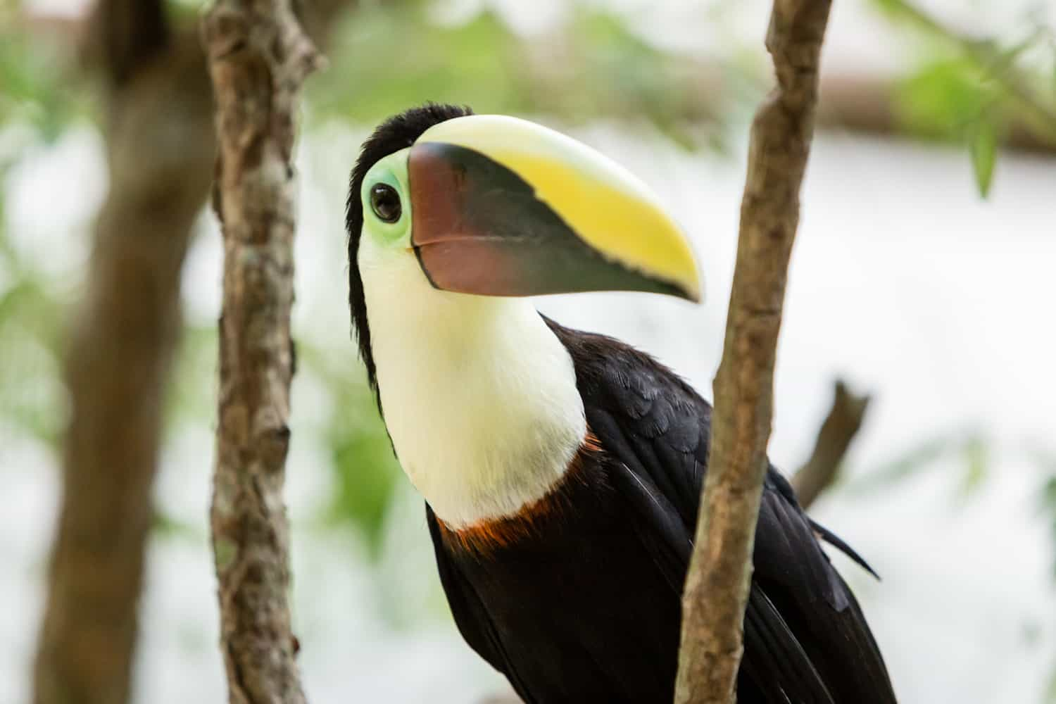 Toucan with yellow and red beach posing for a photo.