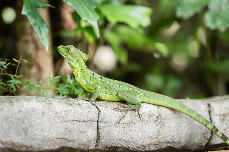 Lizard sunbathing on wall near thermal springs pool area.