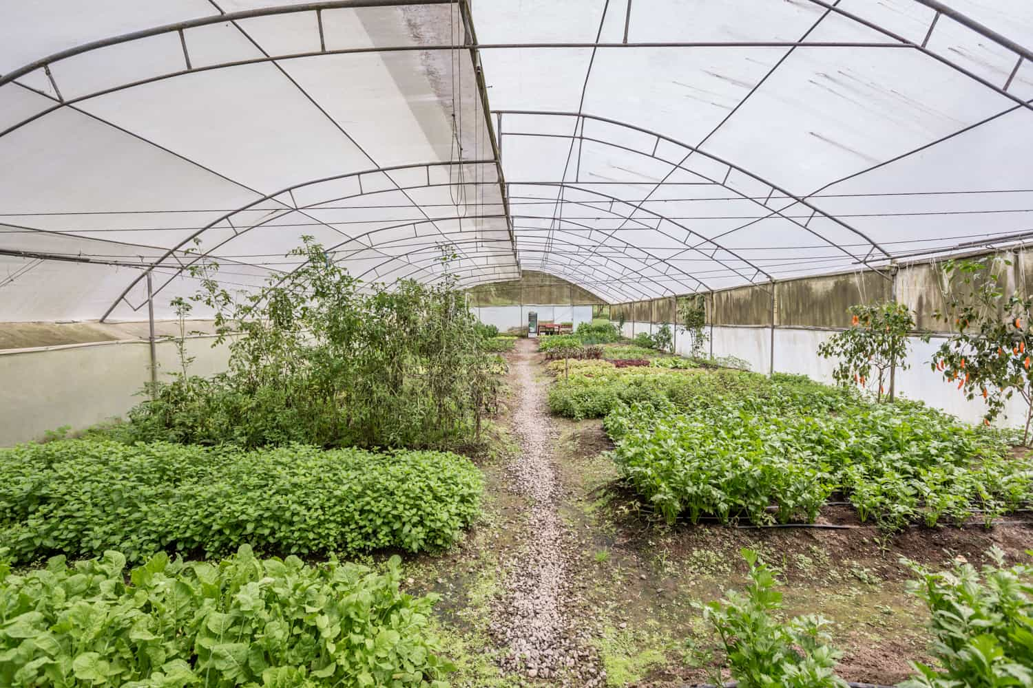 Inside view of herbs and vegetables in greenhouse.