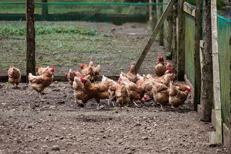 Chickens in El Silencio Lodge's chicken coup.