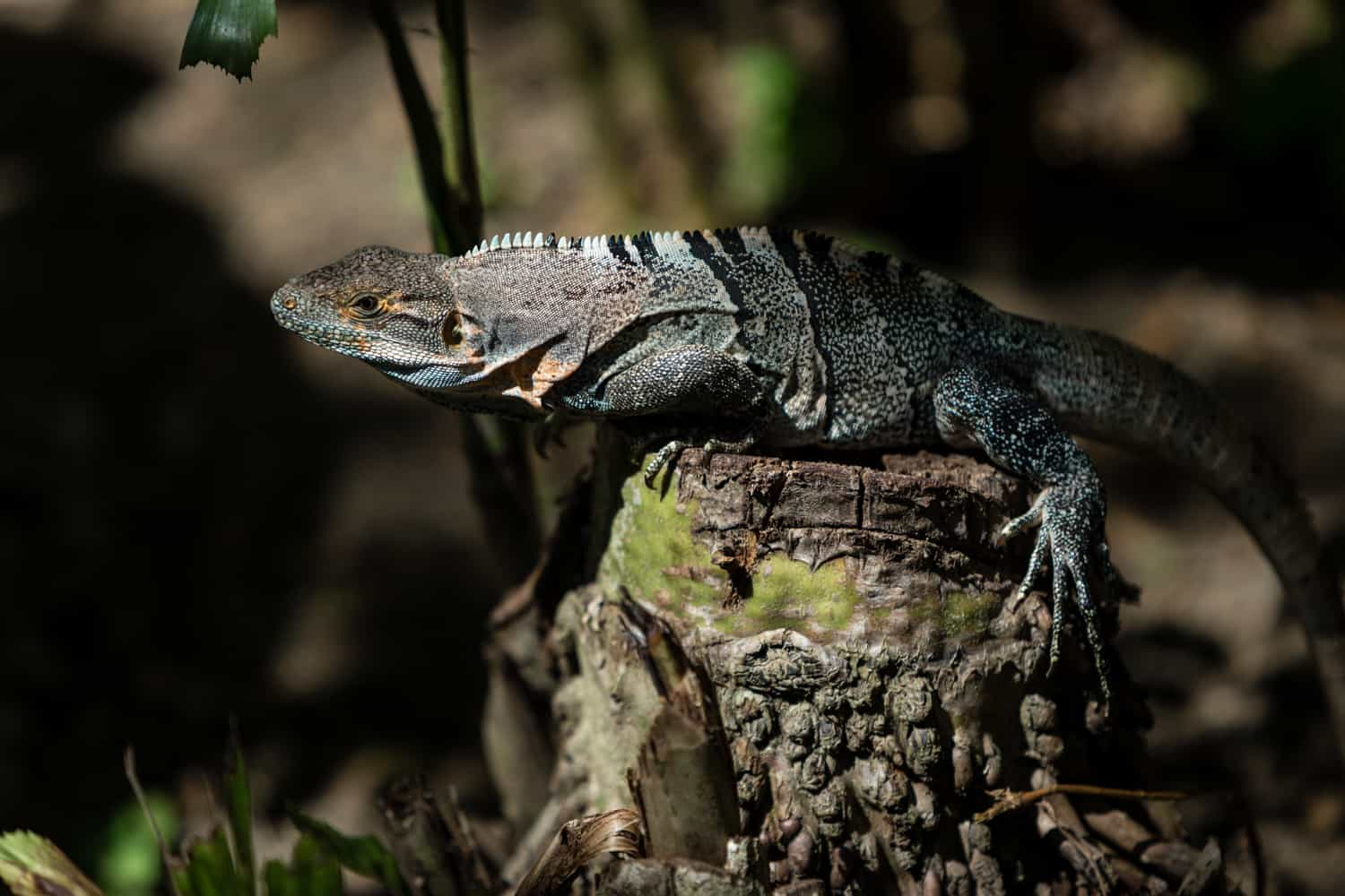 A small iguana taking in a bit of sun while in the botanical garden.