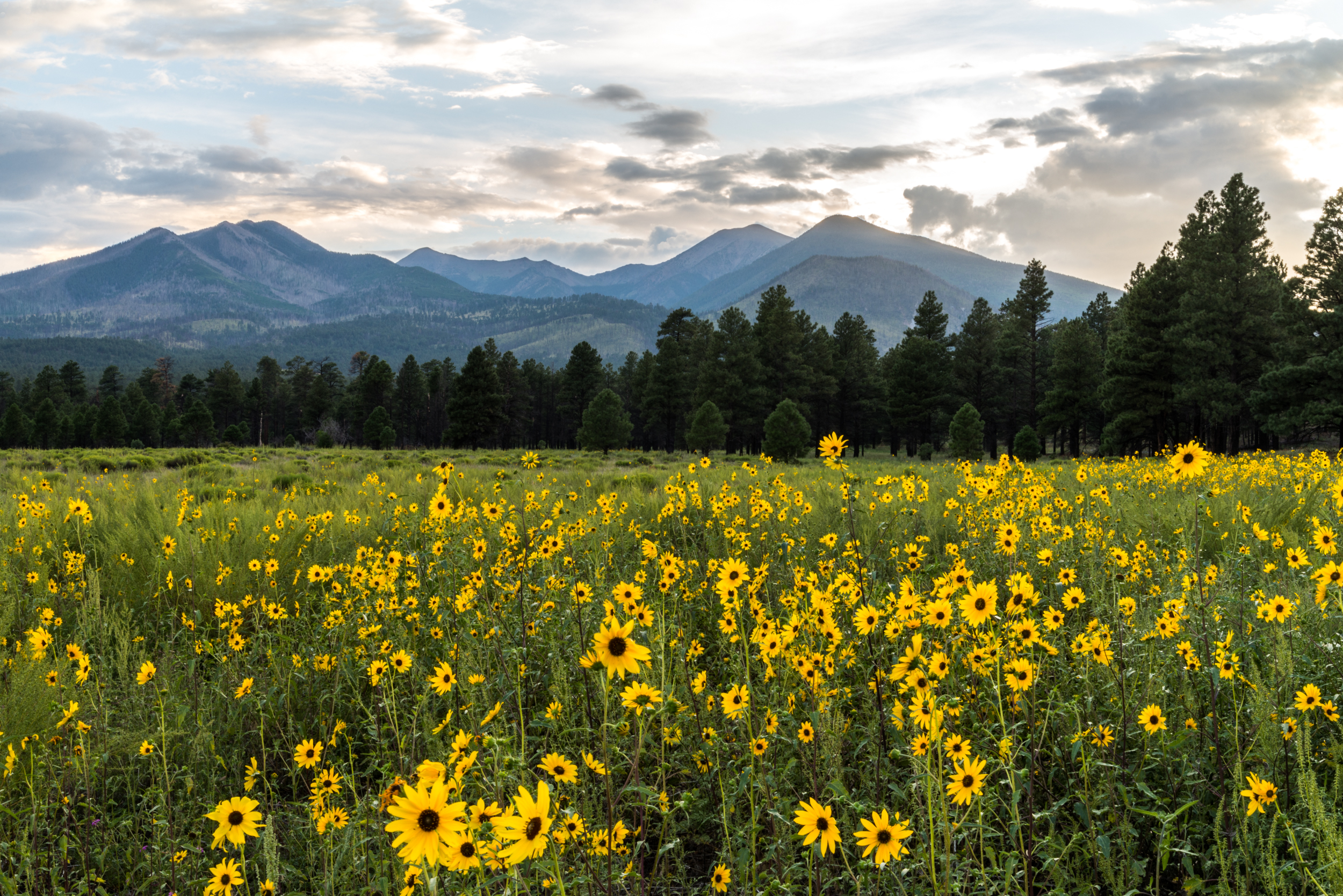 Sunflower-25.jpg