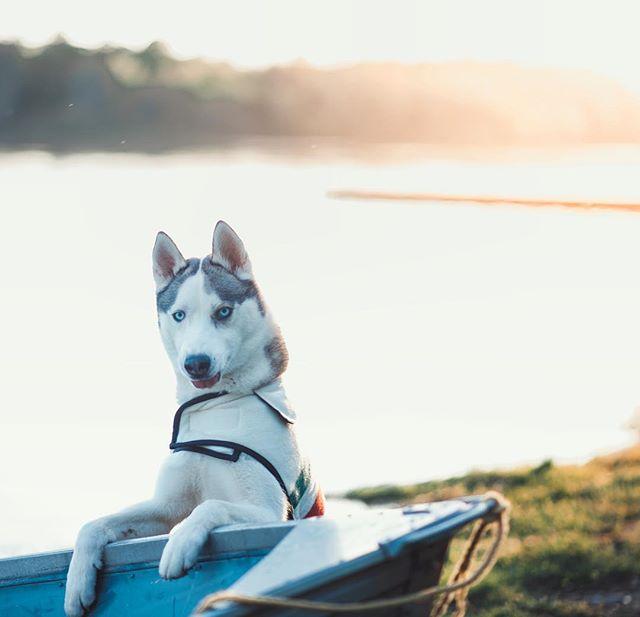 Happy little #TOT 😛 Hope you all have a good Tuesday! . . Pawtners:  @carl_thegirl_husky @a_husky_life @husky_bellarina .  #family #siberianhuskiesofinstagram #excited #huskiesofinstagram #huskyphotography #snowdog #peteethehusky #cutepuppies #dogsofinstagram #campingwithdogs #hikingwithdogs #dogsofcanada#puppiesofinstagram #adorable #instadog  #canada #justhuskies  #barkbox  #adorable #eyepatch #siberianhuskyofinstagram #allthingshusky #animaladdicts  #canadian #instadog #bestwoof