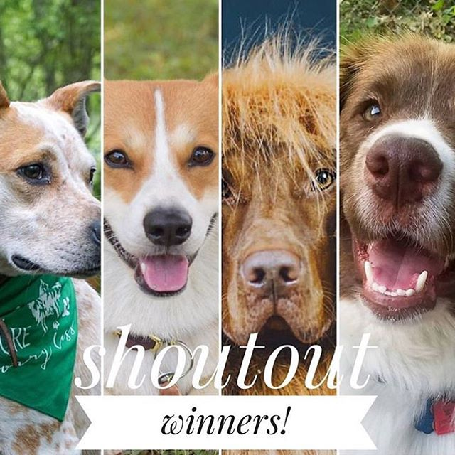 🙉SHOUTOUT WINNERS🙉 ⭐️CONGRATULATIONS⭐️ . . Everyone give some love to: @sandyygramm @chesneythecorgi @alfred_the_vizsla @jethro_the_cattle_dog . . Please don't feel discouraged if you didn't win. There will be plenty of chances in the future so be sure to check back!! 🐾 . . Reminder: Unfollowing after will disqualify you from future contests!! Woof woof 🐶🐾