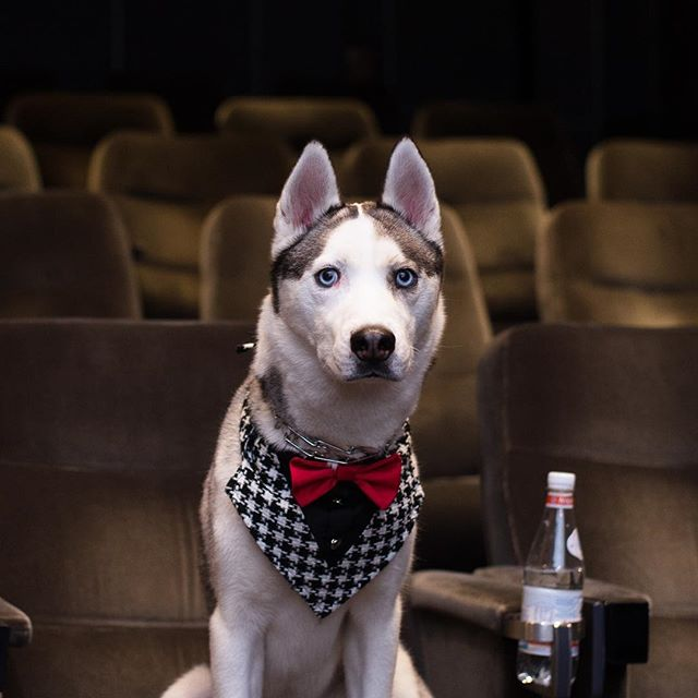 Swimming all day and now a movie 🤘🏼 perfect way to end a Saturday 😌 . . . 📸: @mr.marcel . . . . . Pawtners:  @carl_thegirl_husky @a_husky_life @husky_bellarina .  #husky  #huskiesofinstagram #huskyphotography #snowdog #peteethehusky  #dogsofinstagram #campingwithdogs #hikingwithdogs #dogsofcanada  #dogaccessories #instadog  #canada #justhuskies  #barkbox  #adorable #dogsoftoronto @instagram #thedodo  #canadian #instadog #canadapooch #canada150🇨🇦 #movies #meganleavey