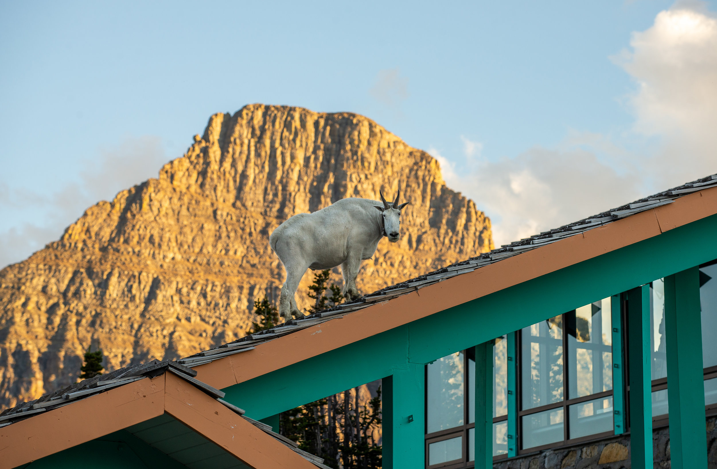 Mountain Goat on Logan Pass Visitor Center
