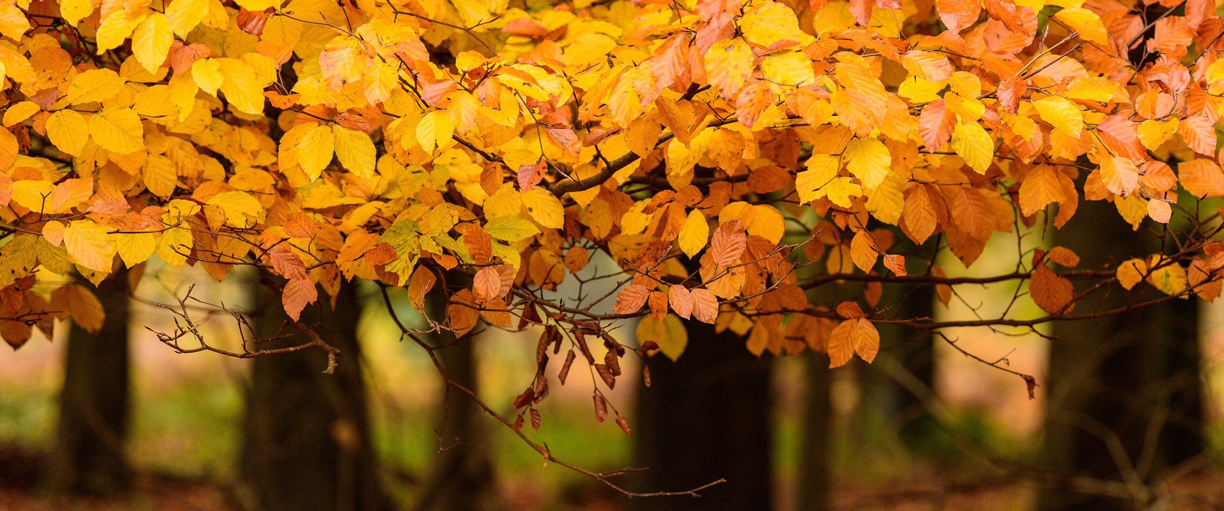 One of the few pictures I've made since my cataract operation. Glorious autumn colour from the King's Wood at Challock.