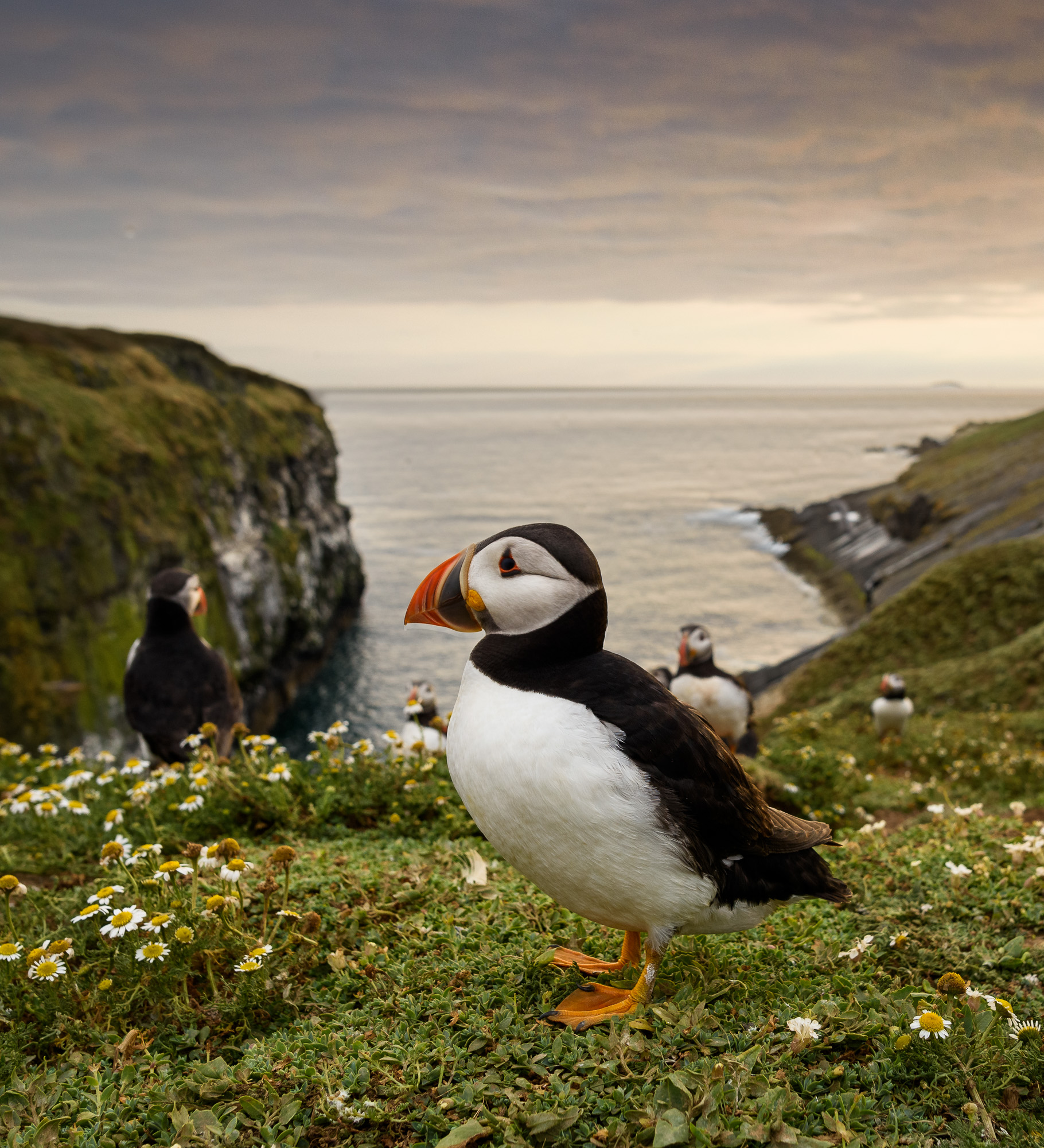 Evening puffin at the Wick