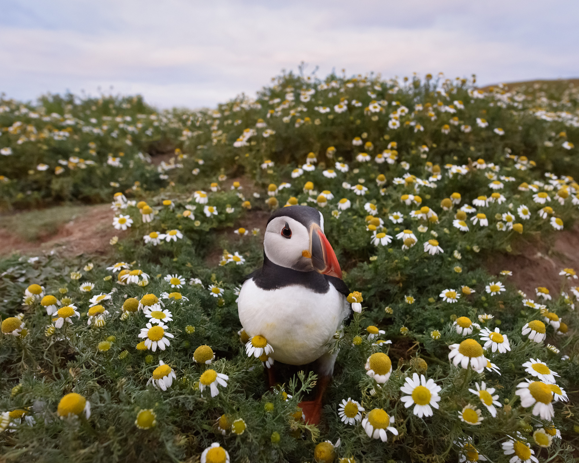 Puffin in mayweed at sunset. This was taken with the 20mm f/1.8 lens. Moving very gently so as not to alarm the birds, it is possible to get in surprisingly close while staying on the footpath.