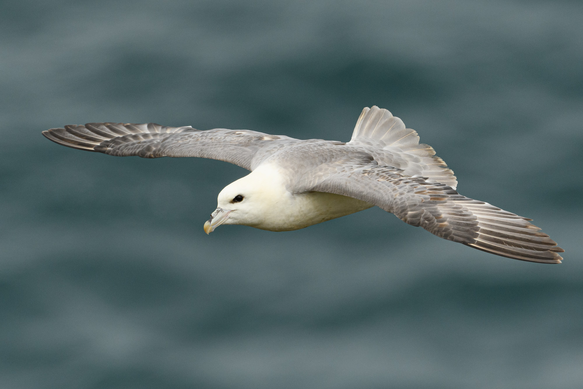 Fulmar in flight. These are members of the      Procellariiformes      which includes the albatrosses, and glide on stiffly outstretched wings.