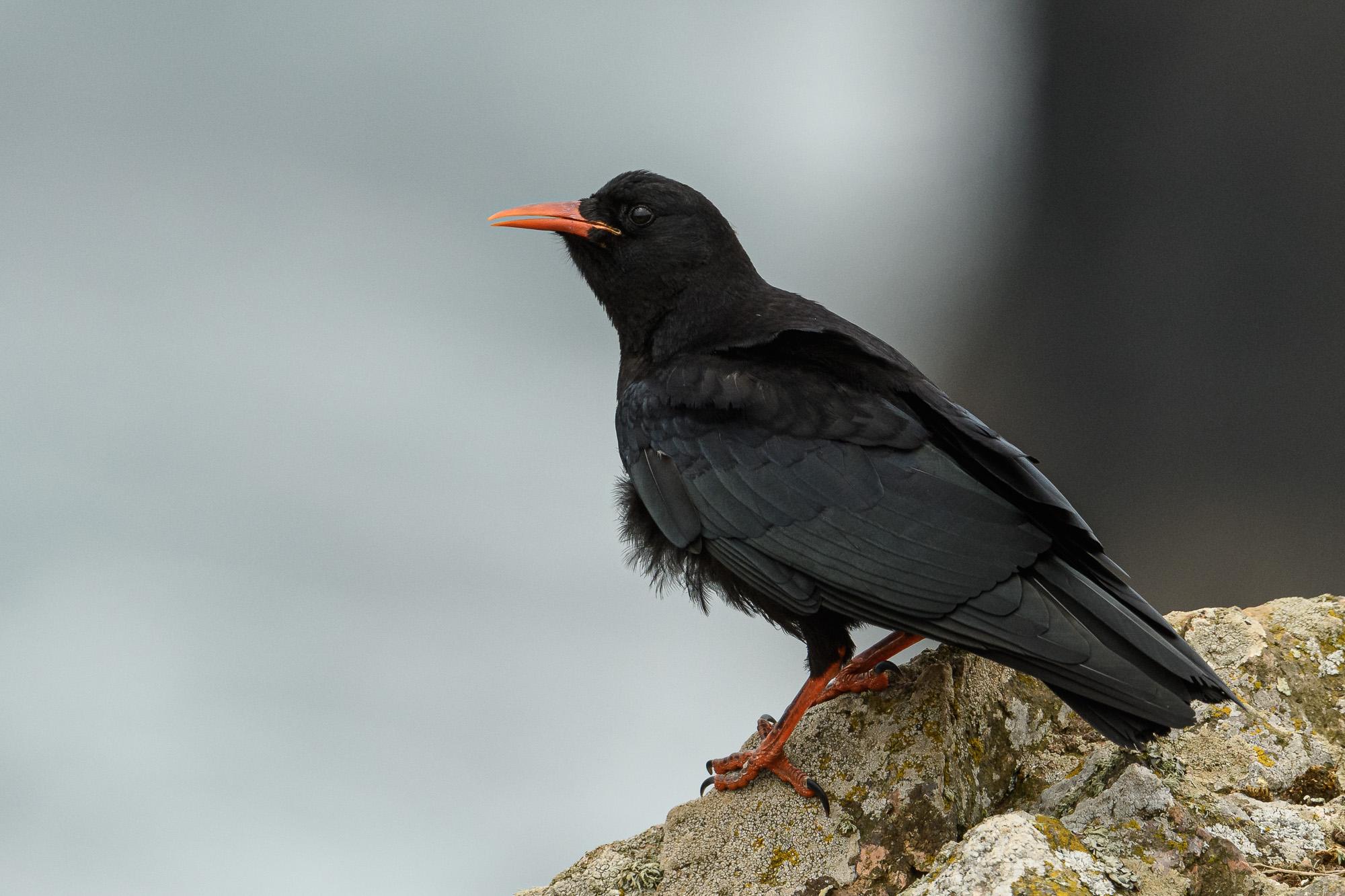 Chough: a corvid distinguished by its red bill and legs