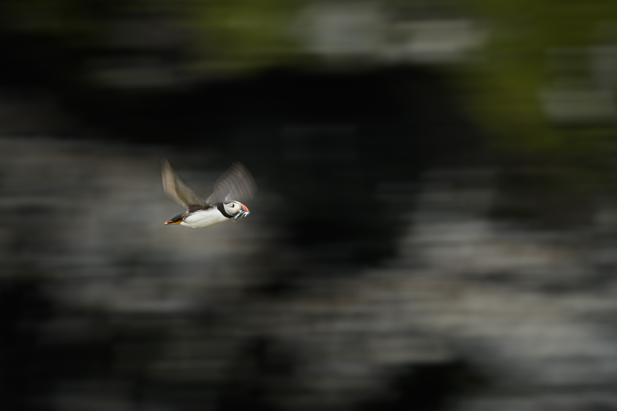 Small bird, big cliffs. Puffins can fly at up to 55mph, and their wings can beat 400 times per min. I wanted to convey this by using the same kind of slow shutter speed panning I use a lot with aircraft. 1/60sec exposure shows how this bird is moving in its environment. Worth clicking on this picture to see it bigger.