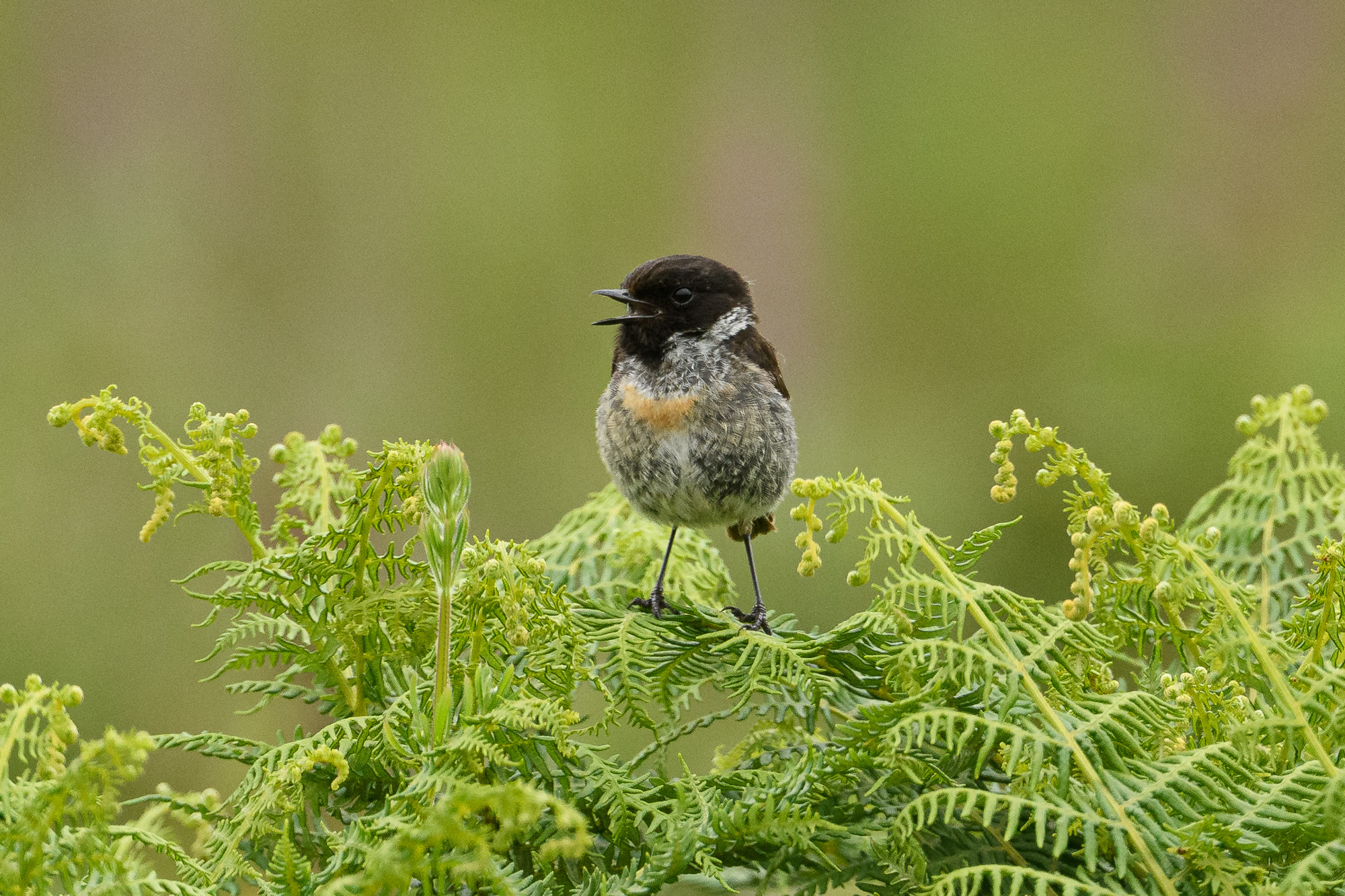 Male stonechat. I'm pretty sure this must be a juvenile. This is close to 100% crop: D500 and 500mm PF lens at f/5.6.