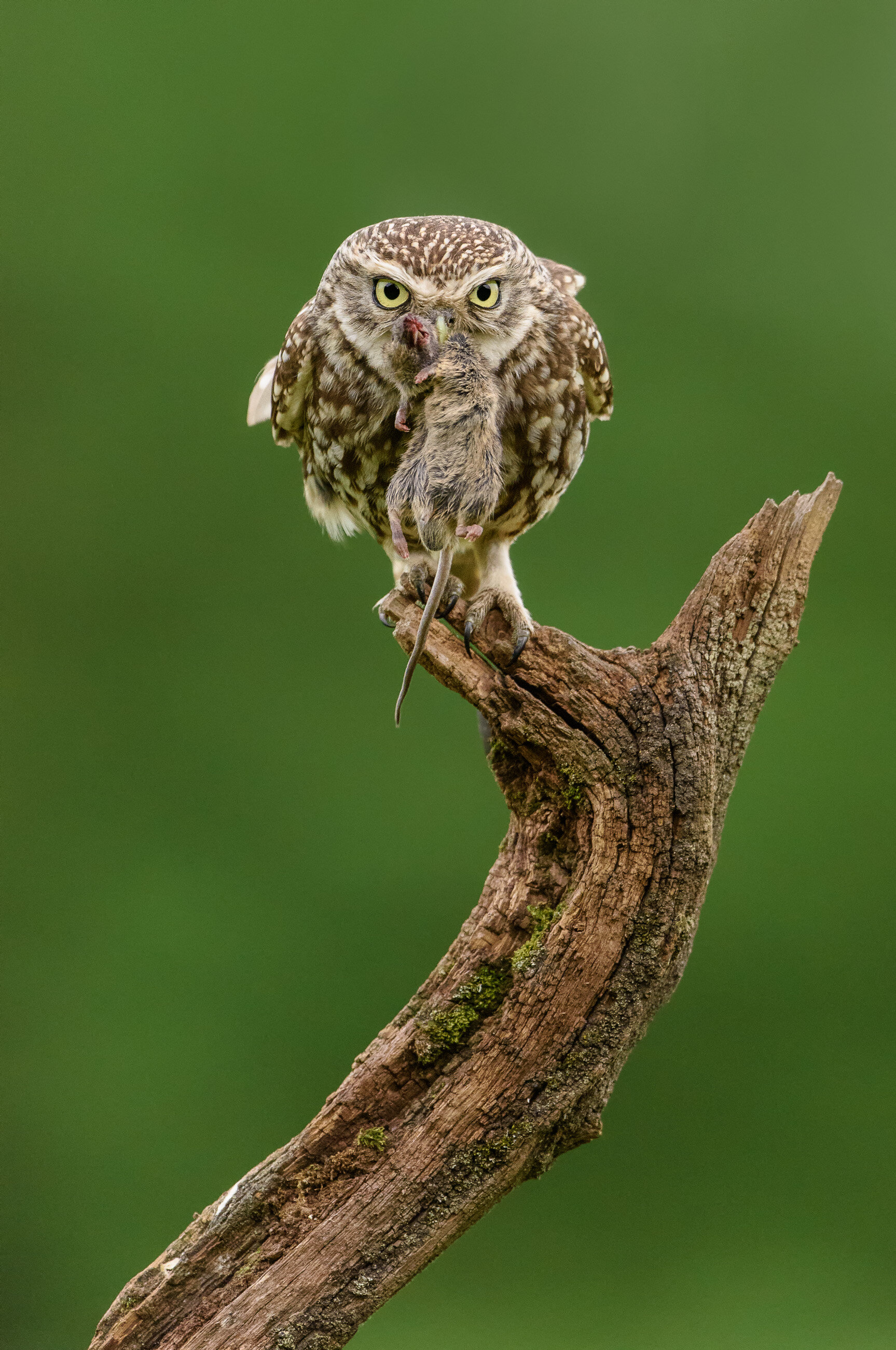 To close this article - an example of where f/4 really does help. This is an older shot of a little owl at dusk. There was hardly any light, and the extra stop of the f/4 lens made a real difference. Nikon D810, Nikon AF-S VR Nikkor 500mm f/4G ED, at f/4, 1/1250, ISO2000.