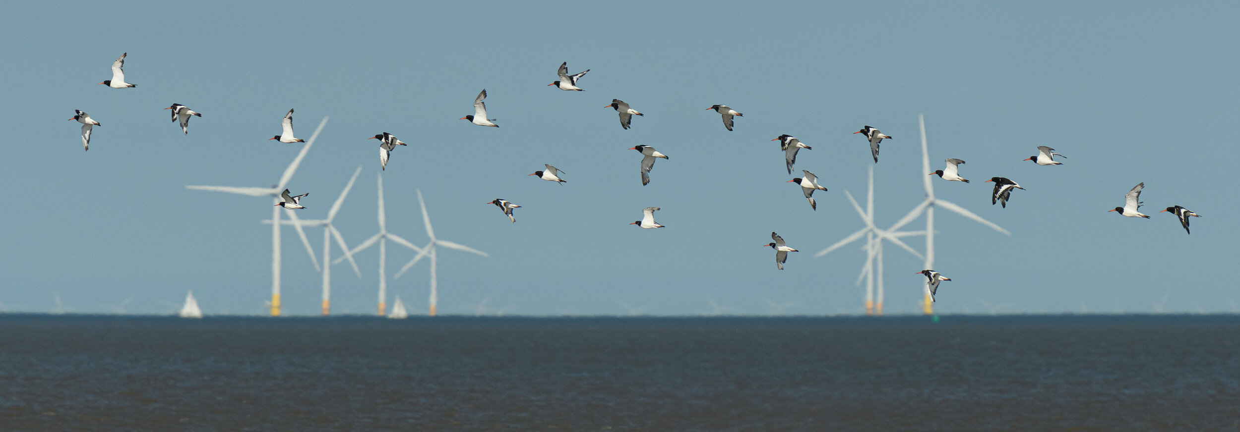 A group of oystercatchers passes in front of a wind farm off the coast of the Isle of Sheppey, Kent, UK. (Click for larger view)