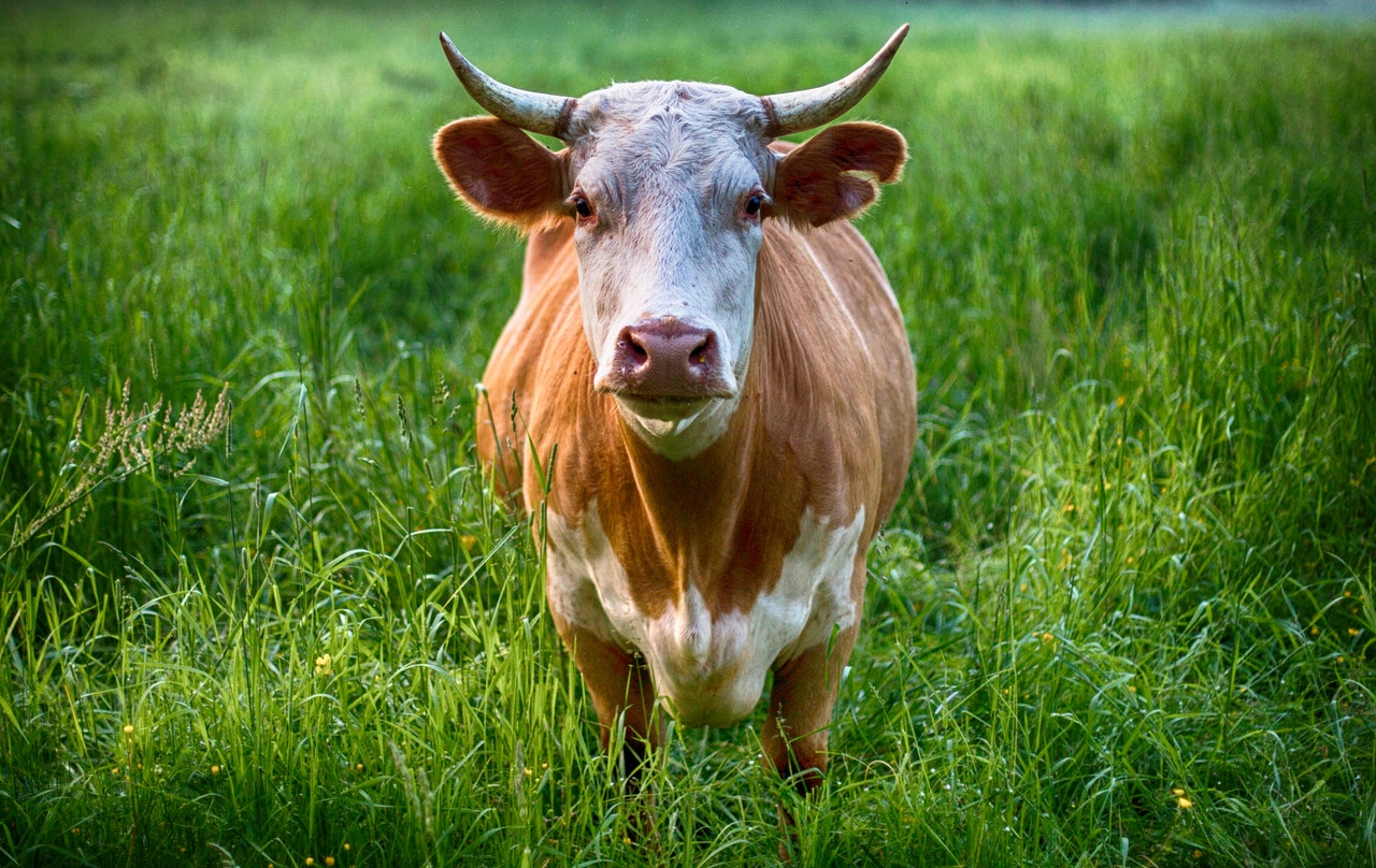Greenhouse gases and  methane gas from cows….