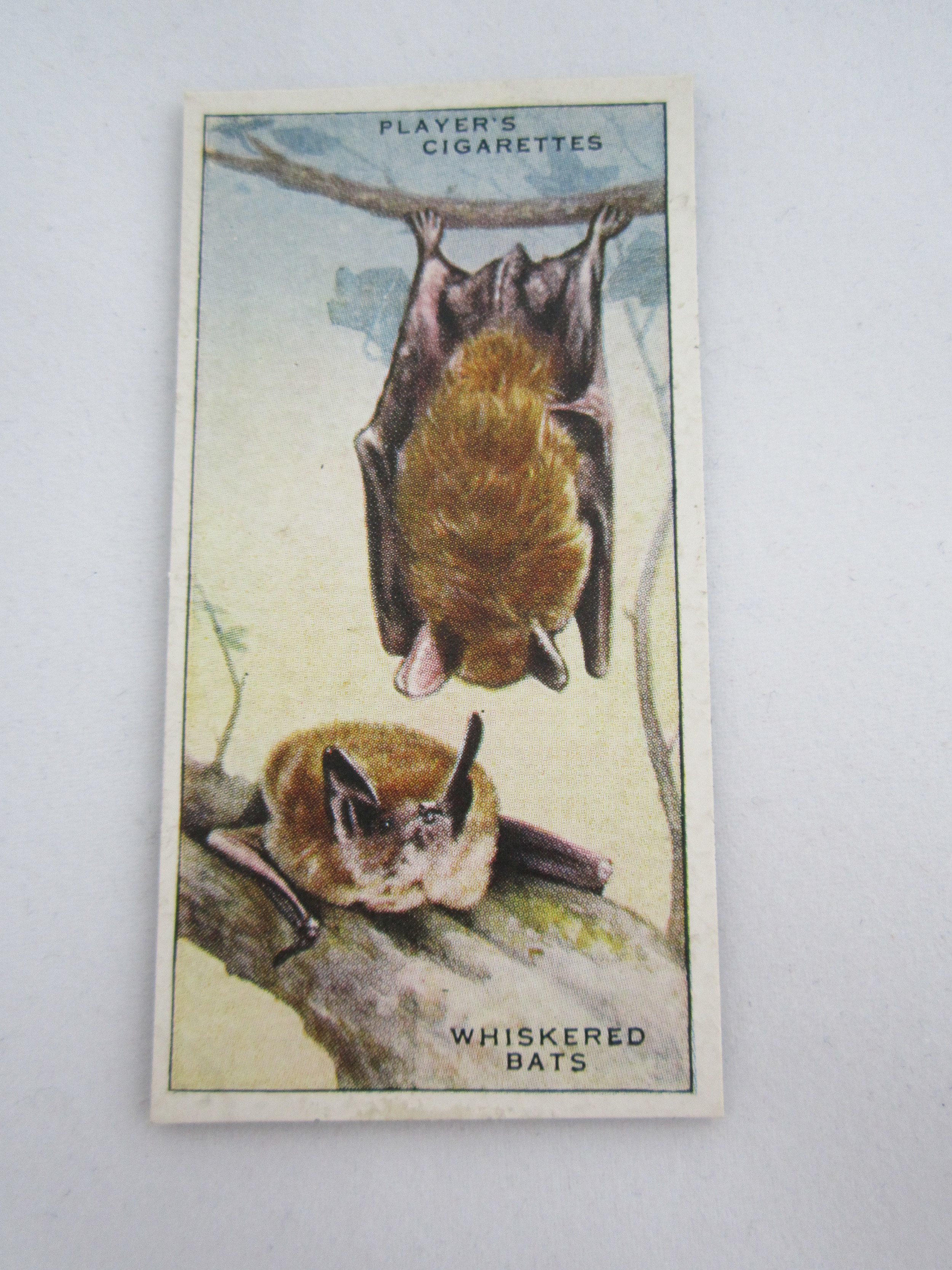 Whiskered Bats Magnet 2.JPG