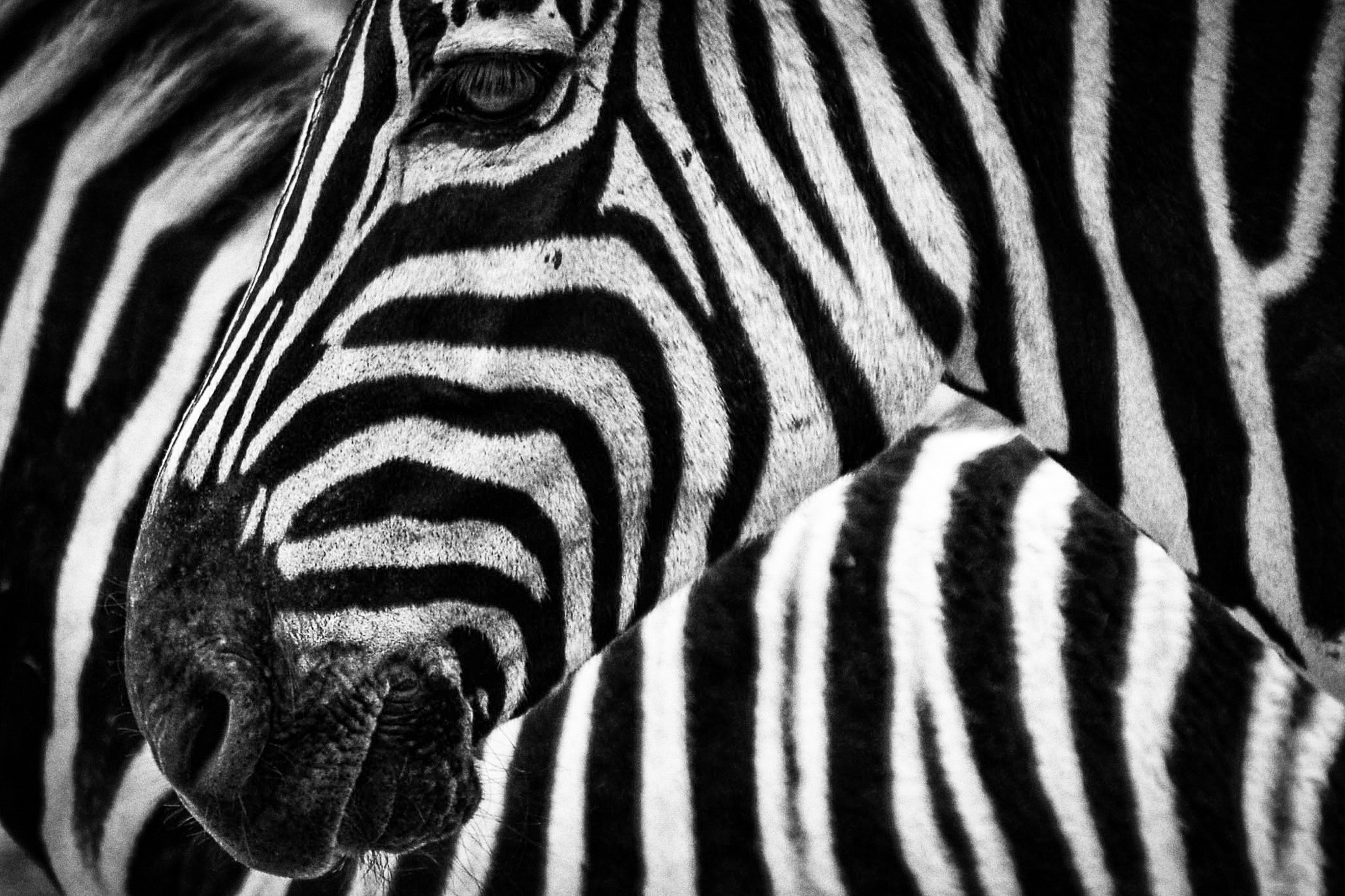 """The zebra is the symbol of The Ehlers-Danlos Society. """"When you hear hoofbeats, think of horses not zebras,"""" is a phrase taught to medical students. It encourages physicians to look to common rather than rare causes for illness. EDS is rare and is commonly overlooked resulting in the decades long diagnosis quest for most EDSers."""