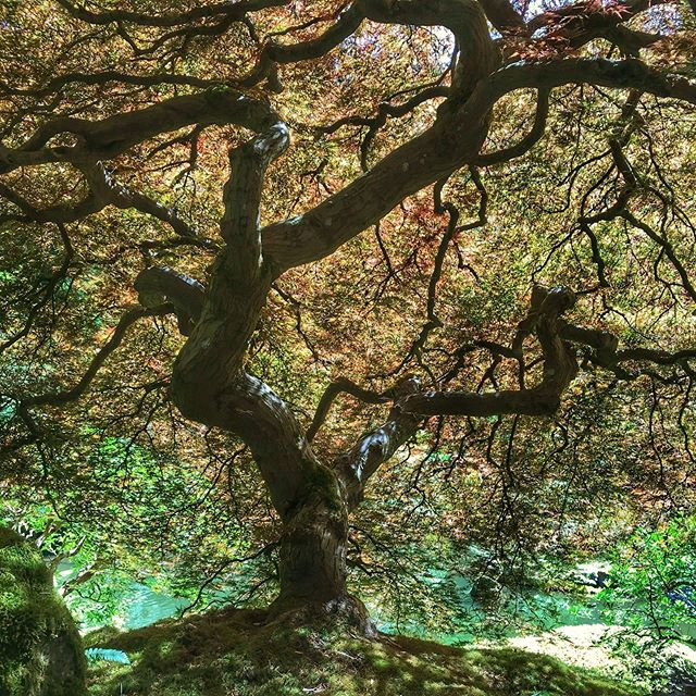 #japanesemaple #portlandoregon #japanesegarden #traveloregon #travelportland #firstnaturetours #understory #naturepic